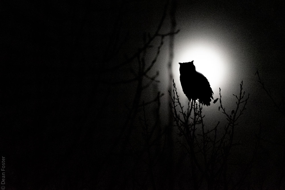 Great Horned Owl silhouetted by the full moon