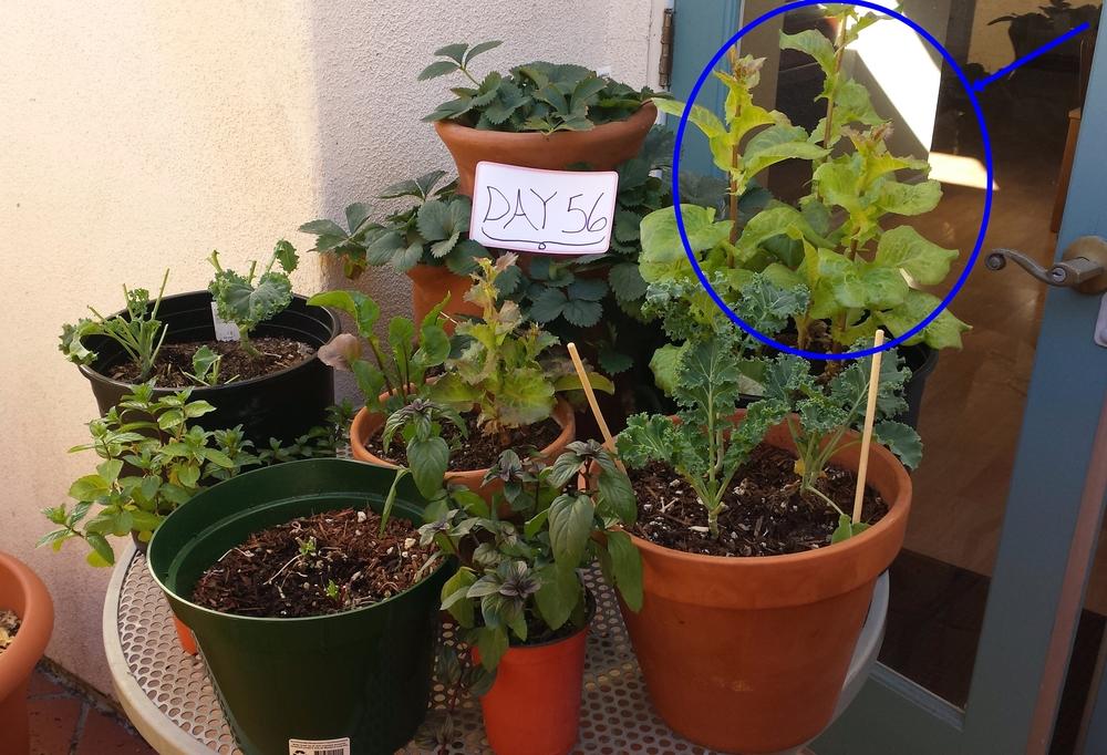 lettuce in an organic urban garden los angeles