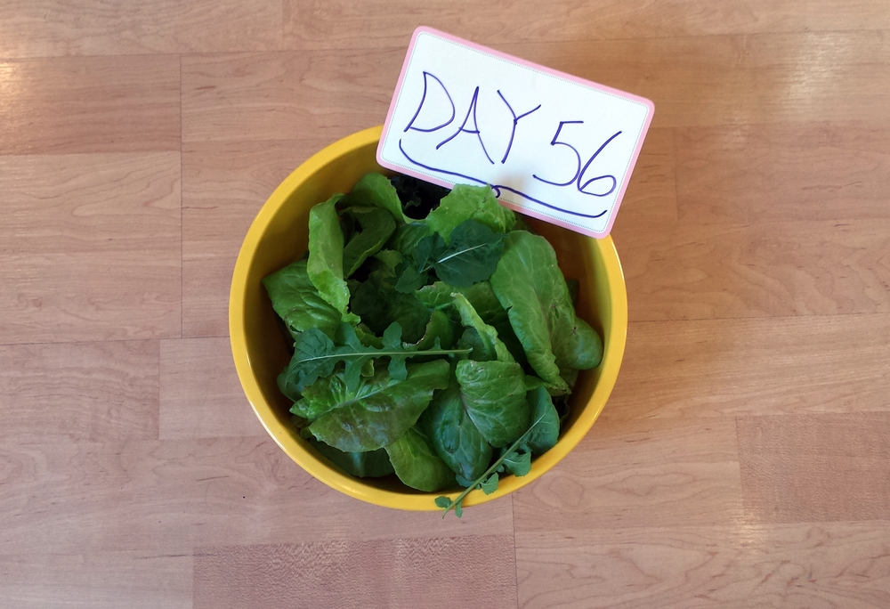 salad from urban organic garden