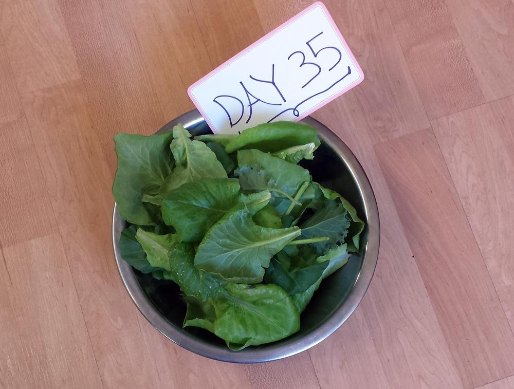 sustainable food urban garden lettuce