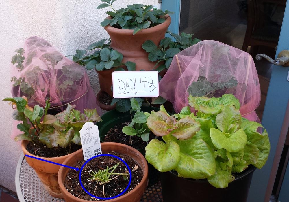 urban gardening organic spinach