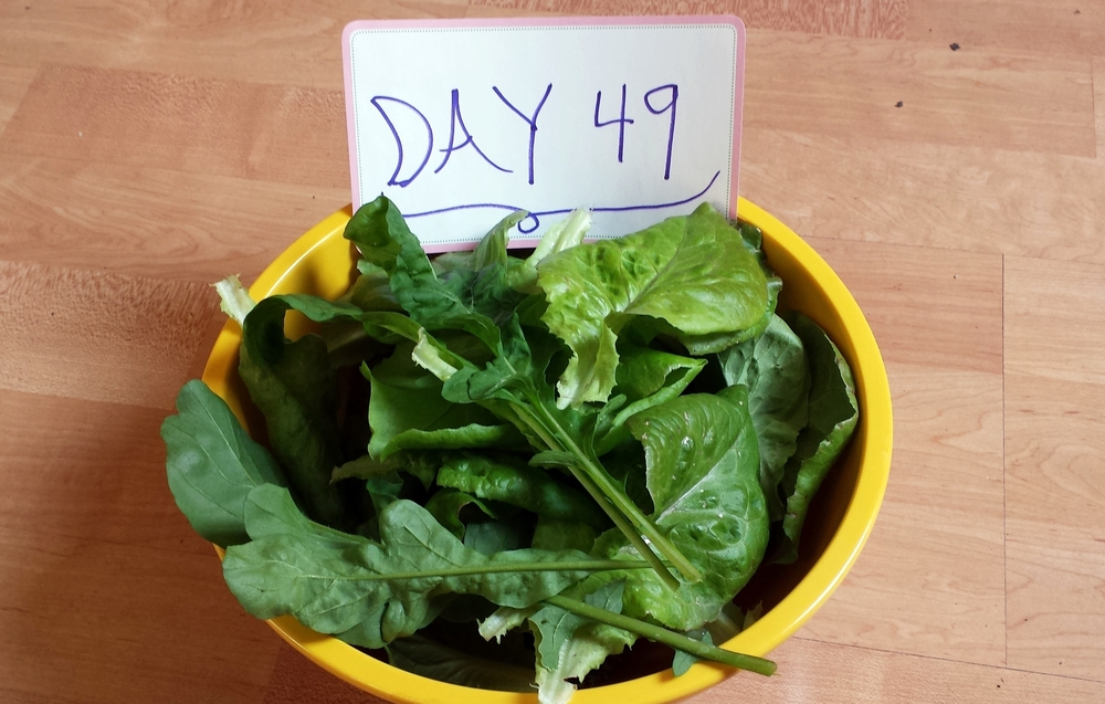 salad from organic urban garden