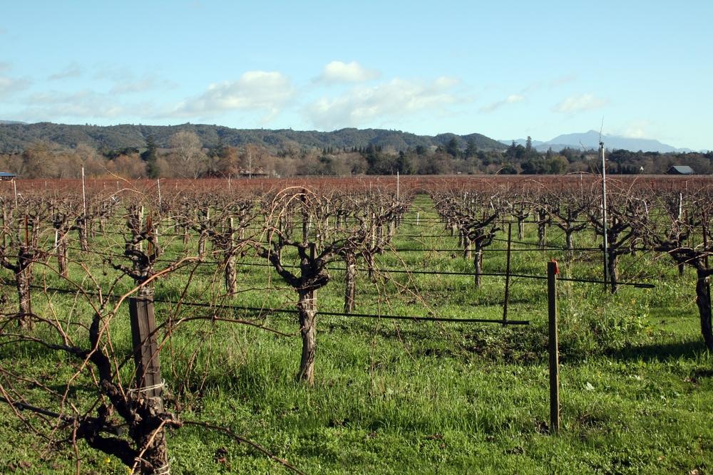 Vineyard at Quivira Winery in Healdsburg, CA