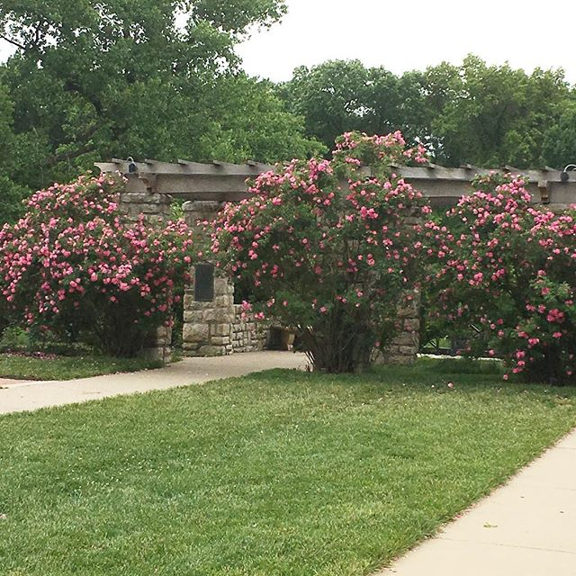 Getting ready to start a family photo session in the stunning rose garden at Loose Park. The flowers are blooming!! Yay!! #kcphotographer #loosepark #looseparkphotosession #looseparkrosegarden #looseparkphoto #familyphotography #kcfamily #kcfamilyphotography