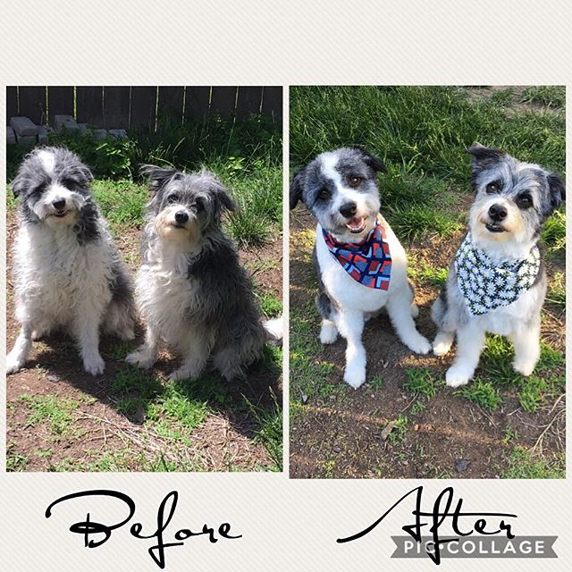 Well it was summer hair cut day at my house haha. These two are looking pretty good after a fresh do and bath haha. #doghaircut #familydog #lovemypup #itcostmorethanmine #theylookgoodtho
