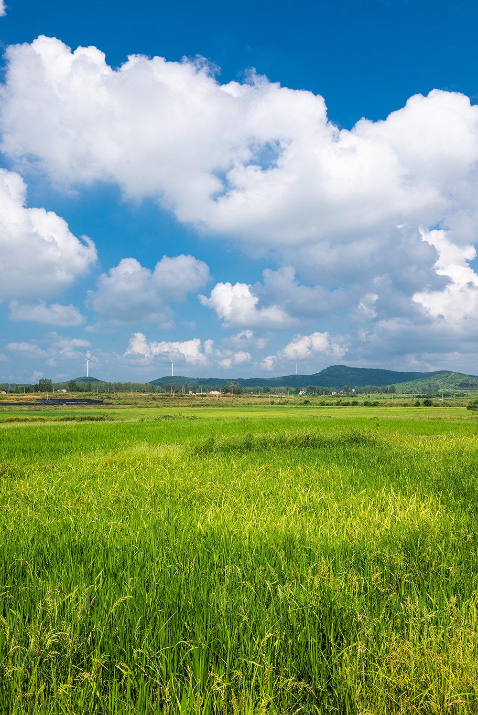 稻田如草原一般