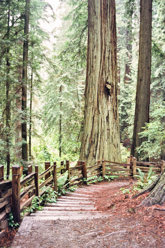 redwoods-12.jpg