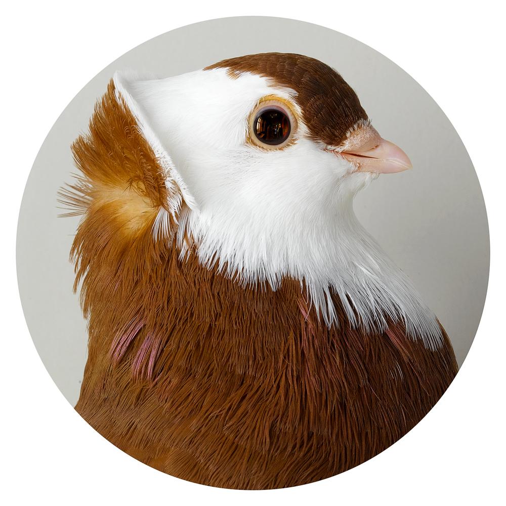 Pigeon seven
