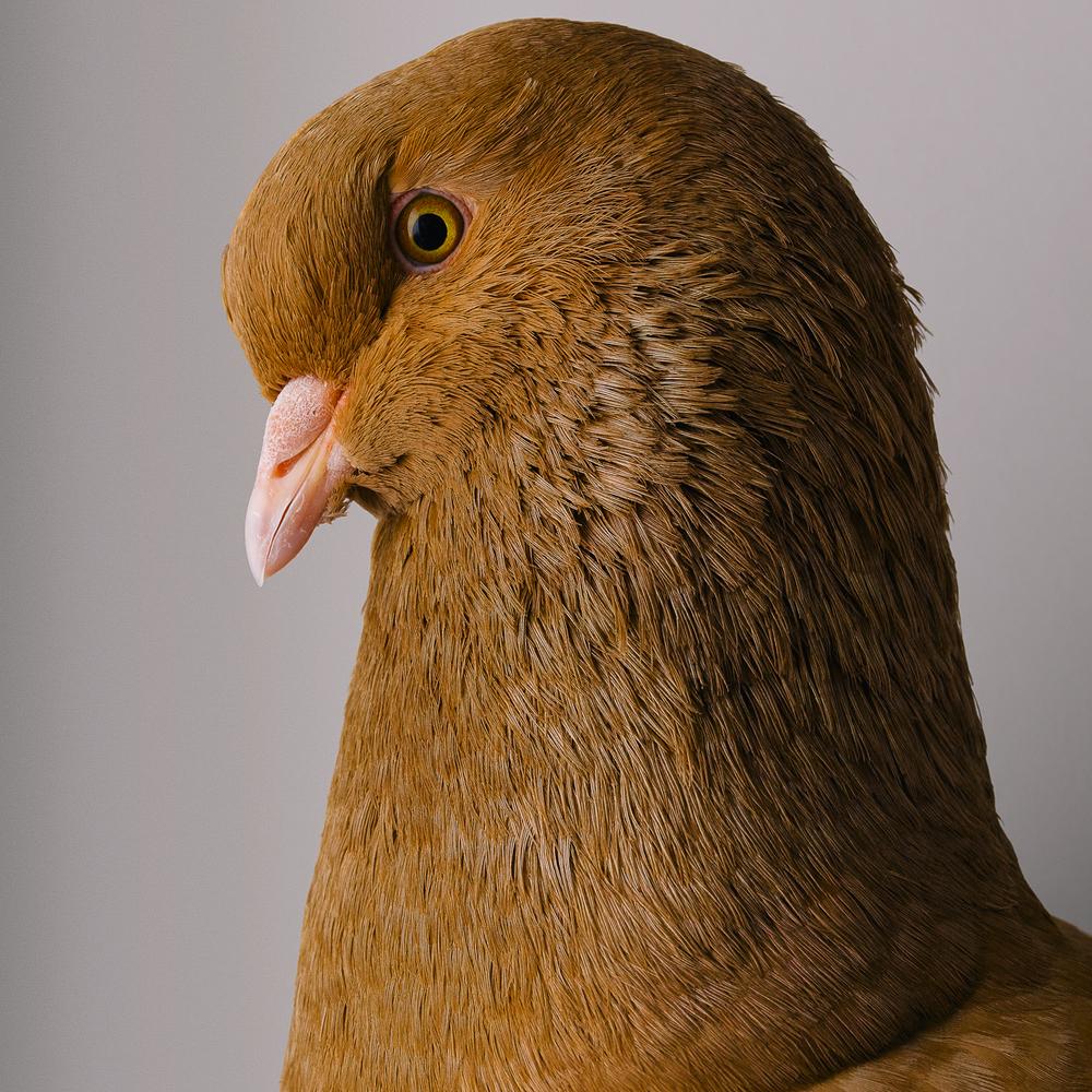 pigeon 00126-wv3.jpg