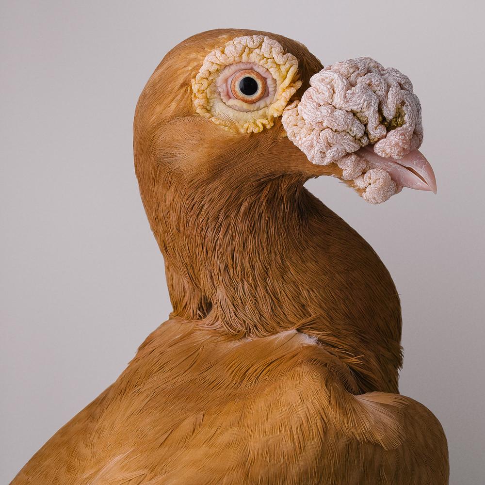 pigeon 00057-wv2.jpg