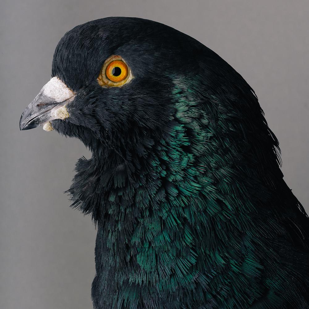 pigeon _00567.jpg