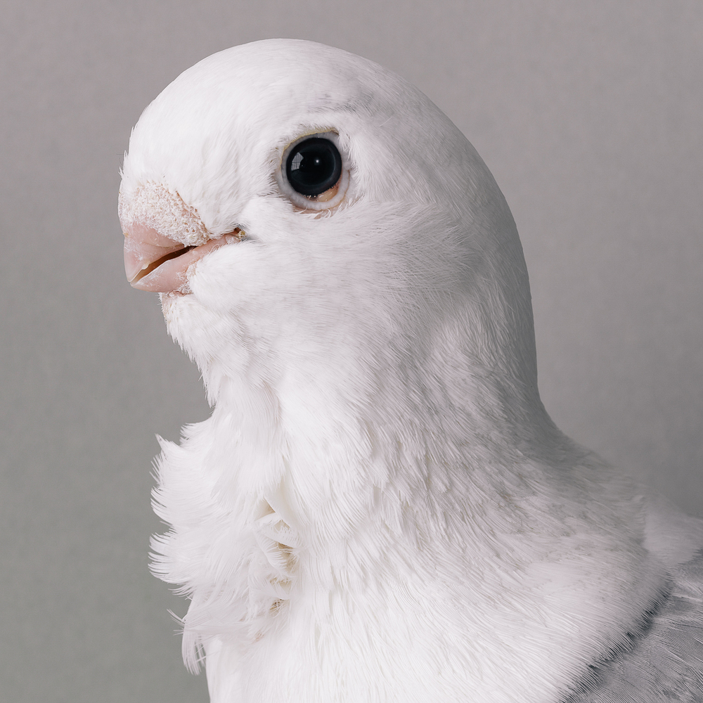 pigeon _00443.jpg