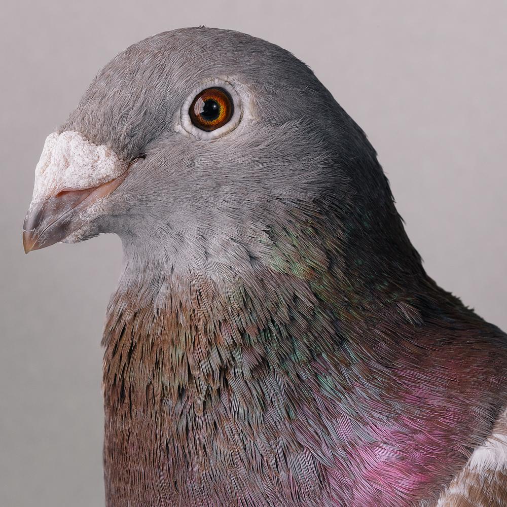 pigeon _00384_2.jpg
