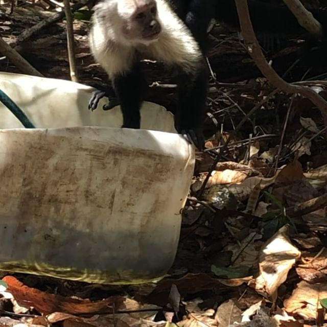 """A trip to Costa Rica wouldn't be complete without seeing the capuchin monkeys in the wild. We also interviewed Dan Janzen, a evolutionary ecologist who """"left the ivory tower"""" in the 1980s to help to start a reserve """"before there was nothing left for me to study."""""""