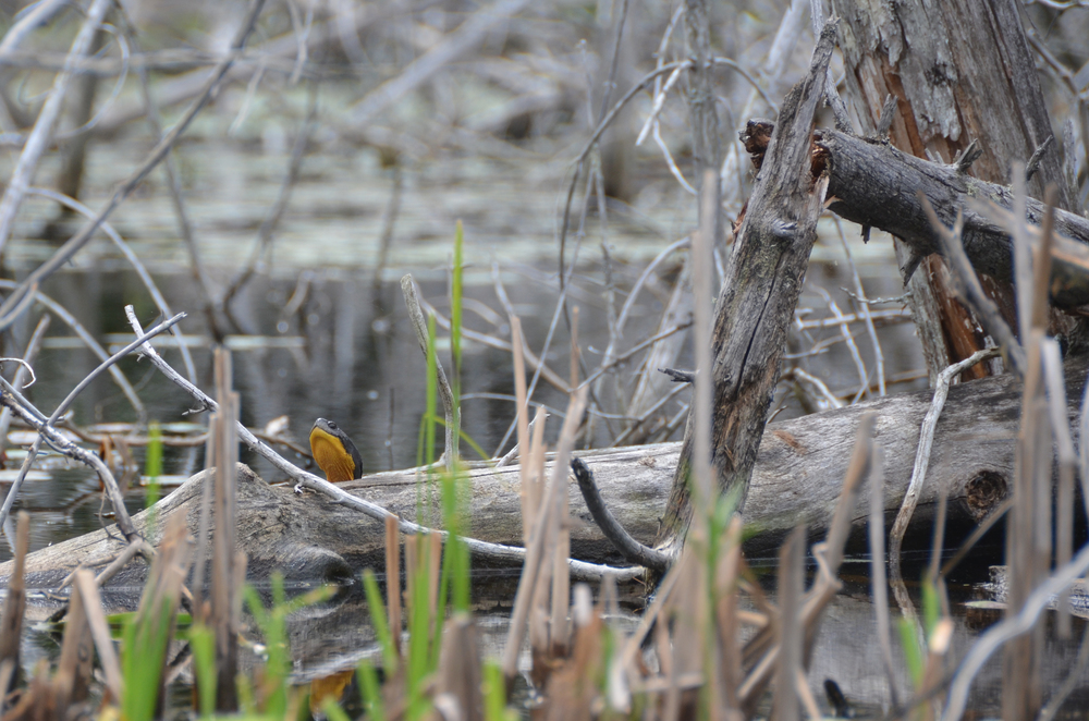 A Blandings Turtle, one of Ontario's threatened species, spotted on June 7, 2015 near Brule Lake by resident LeeAnn Carnegie Newman