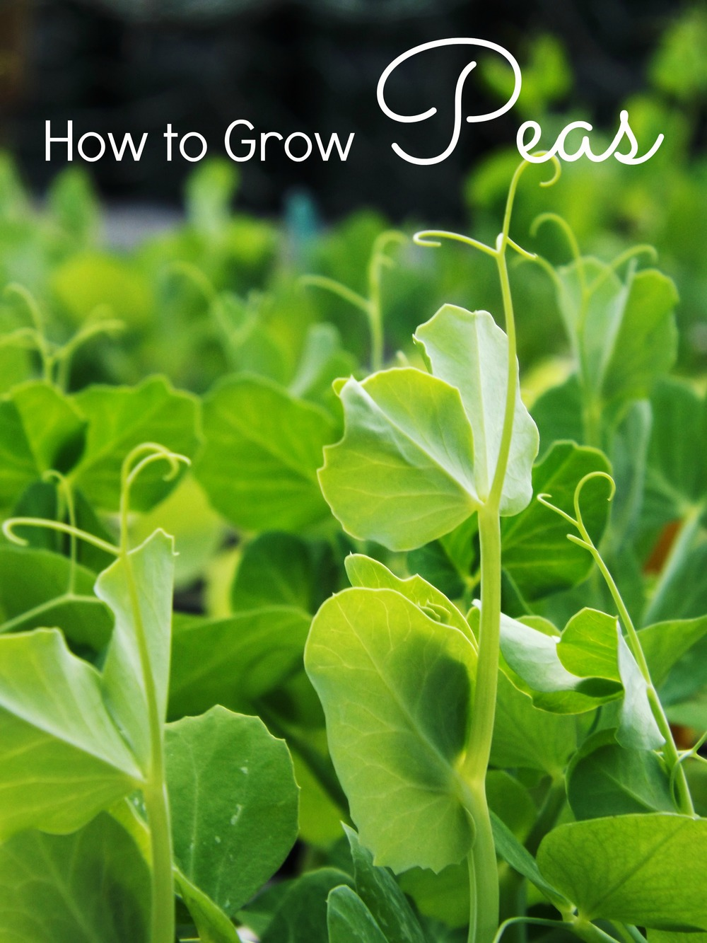 howtogrowpeas