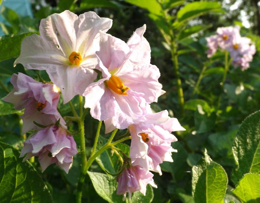 floral friday - potato plants