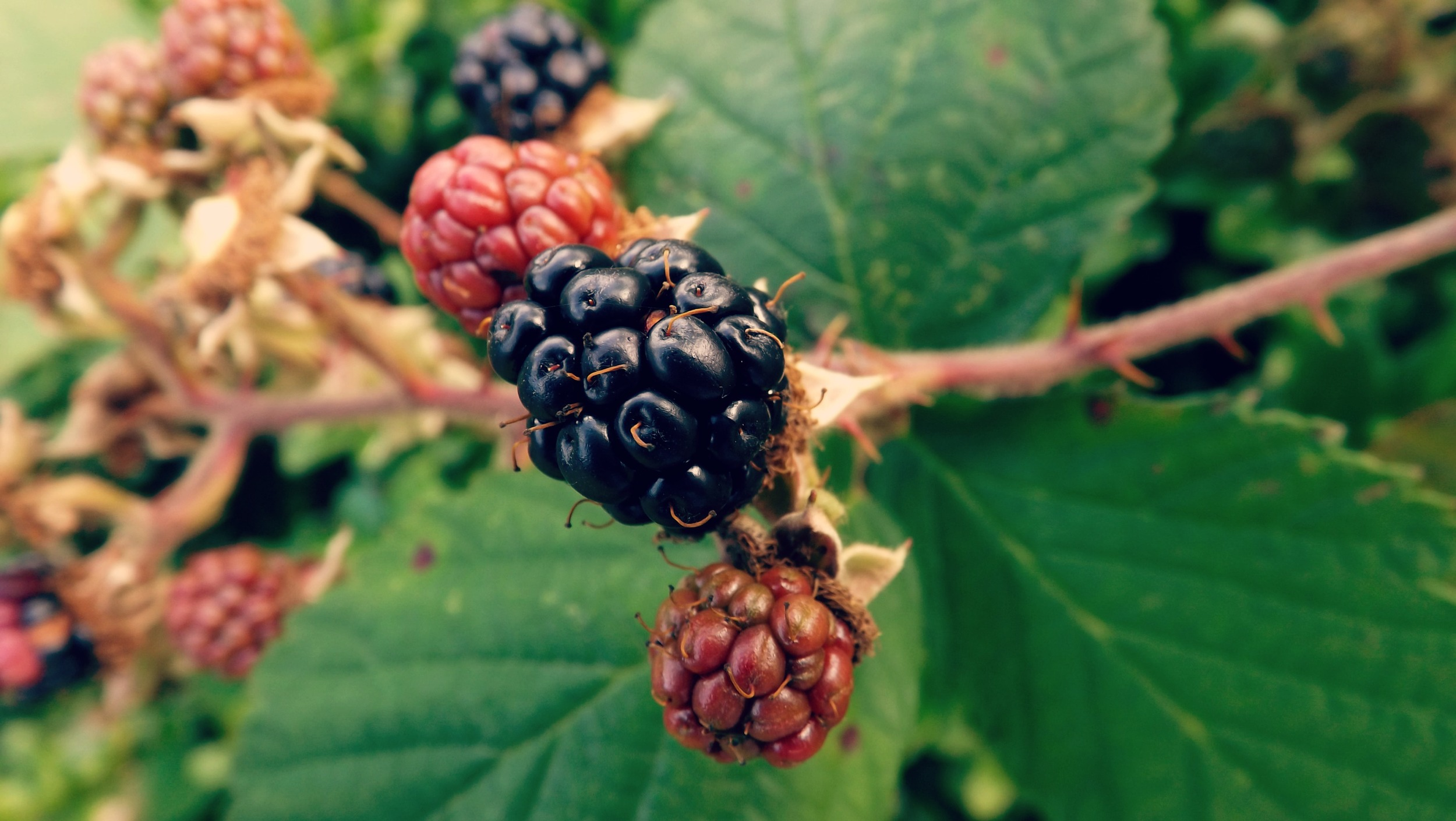 Blackberries-Creative-Countryside