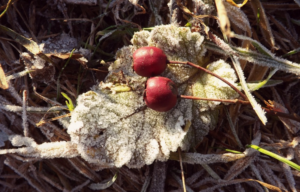 Frost-Berries-Creative-Countryside