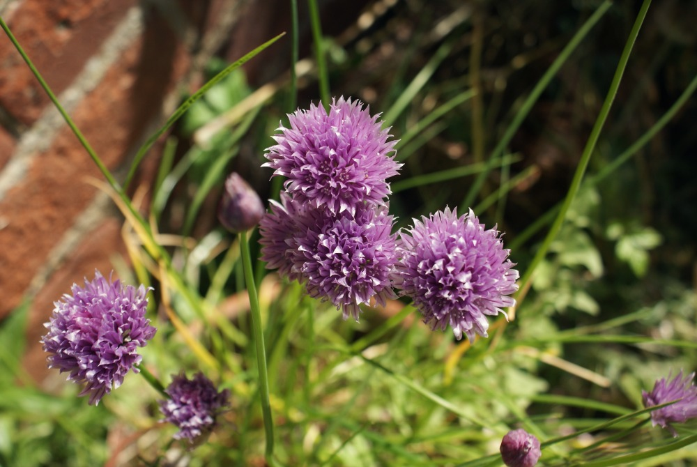 chives-creative-countryside