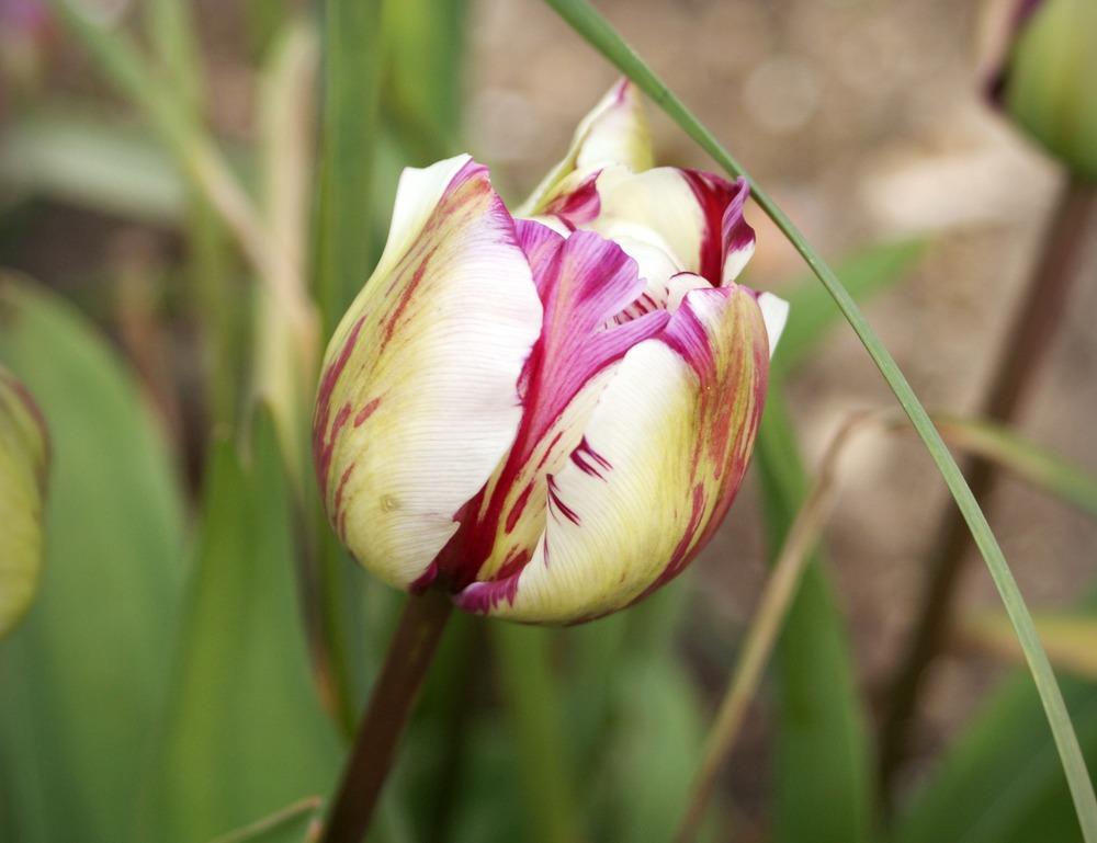 Tulips-Creative-Countryside