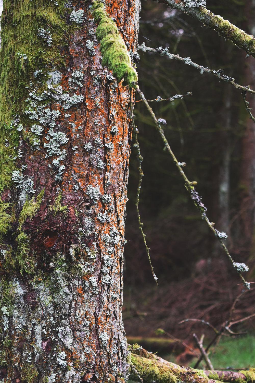 pine with lichen.jpg