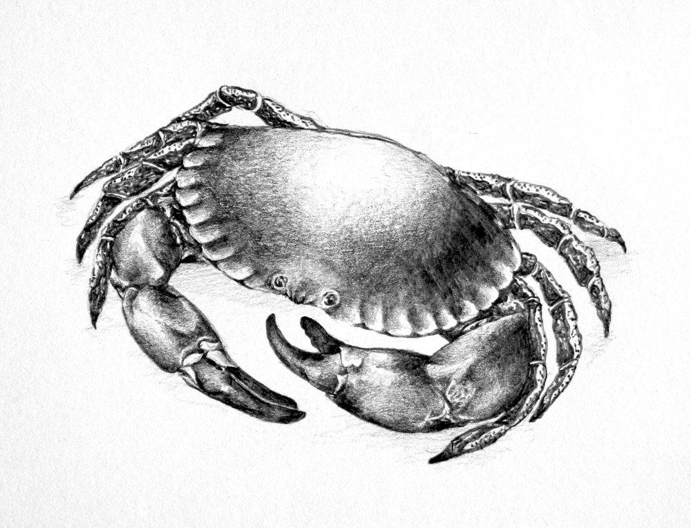 Brown Crab - Coast.jpg