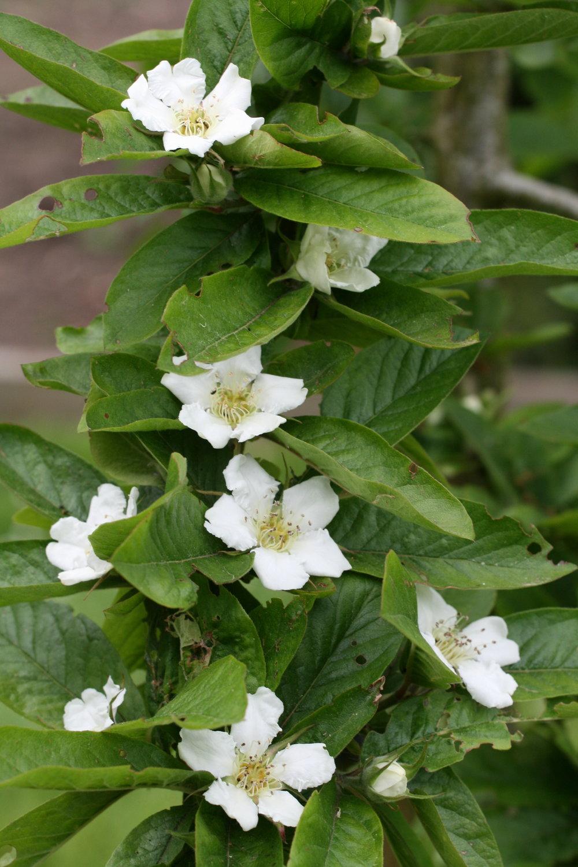 Medlar blossom.JPG