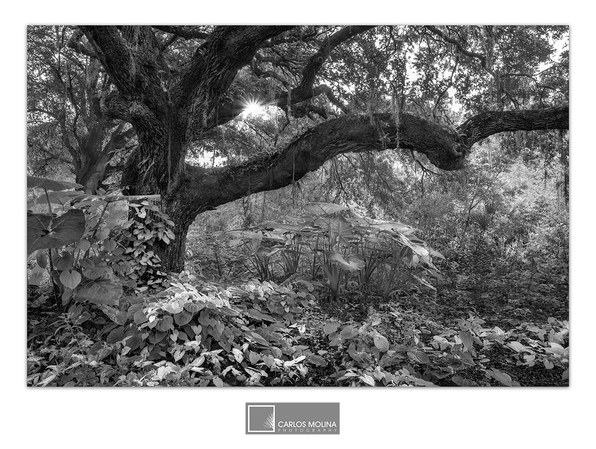 Florida's Forest in B&W