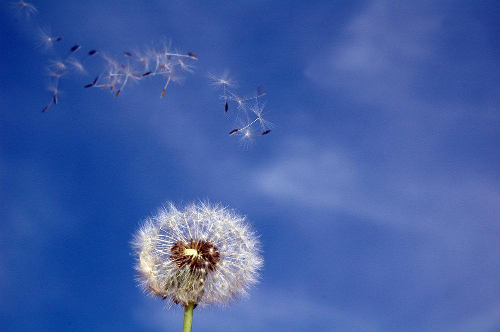 dandelion-37-1388001.jpg
