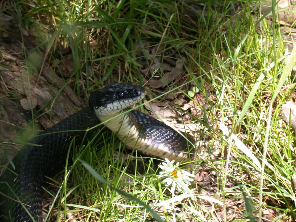 Black Rat snake site 32.JPG