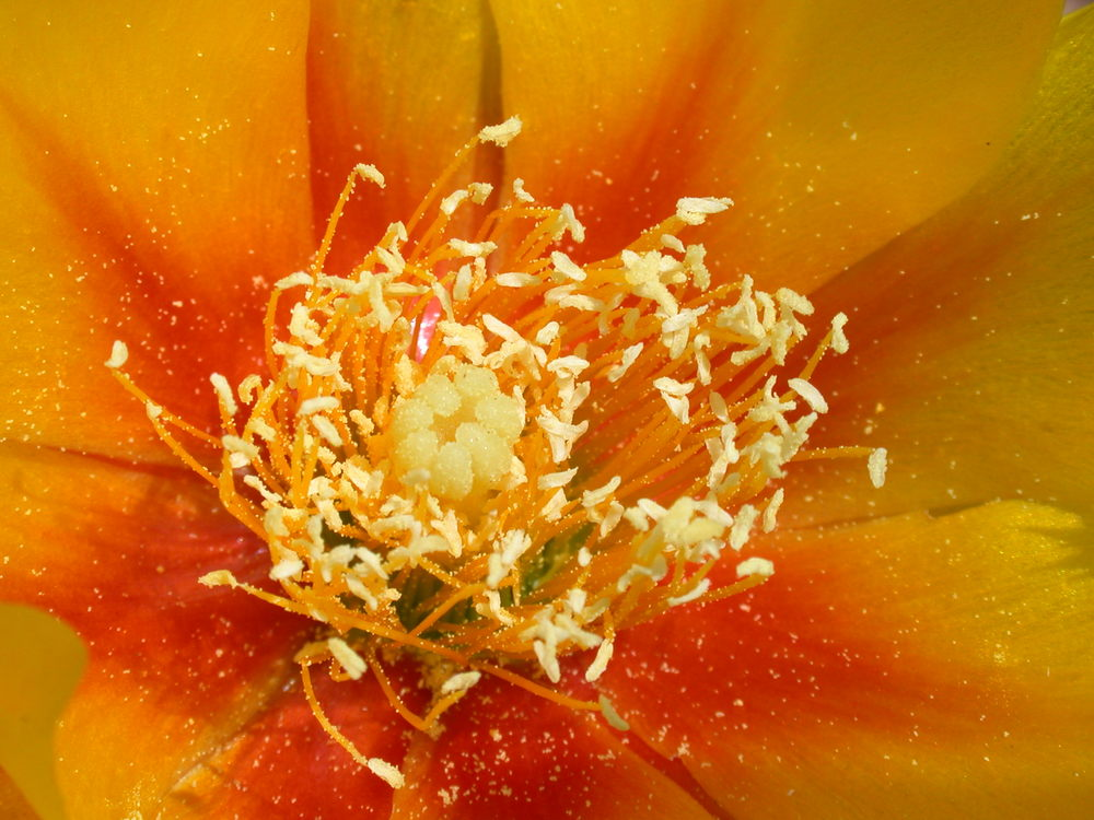 Closeup of Prickly Pear bloom site 32.JPG