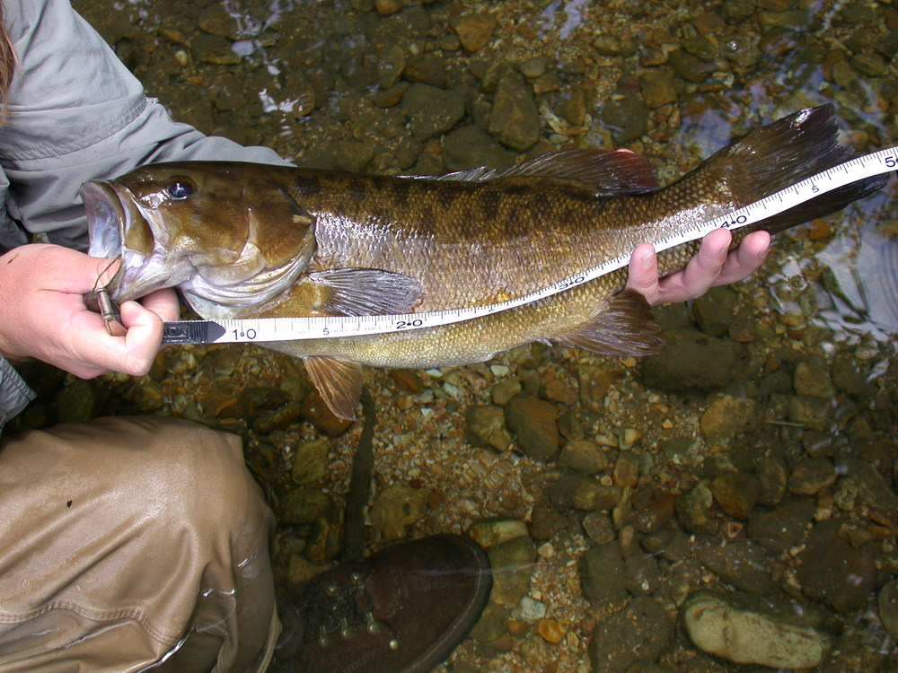 Measuring the length of a large Smallmouth.JPG
