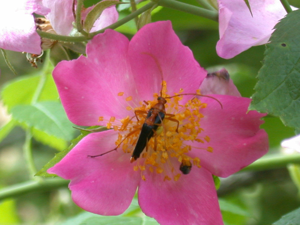 pollinating insects on a wild rose site 51-5.JPG