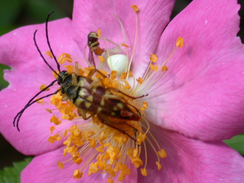 pollinating insects on a wild rose site 51-6.JPG