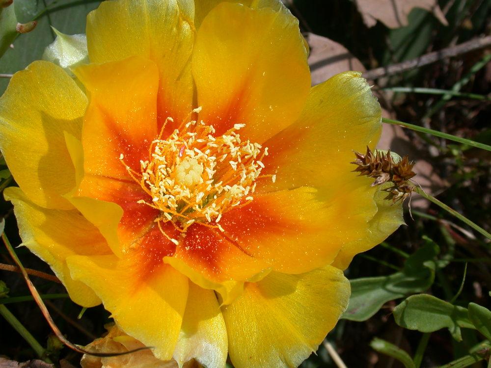 Prickly Pear bloom site 32.JPG