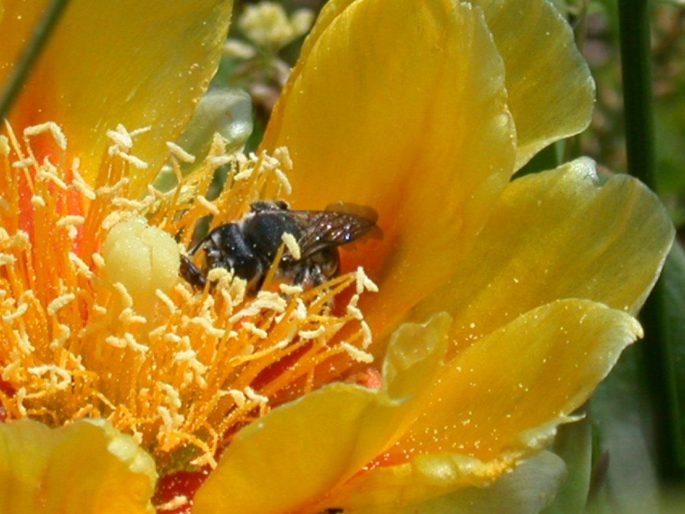 Prickly Pear bloom site 32-2.JPG