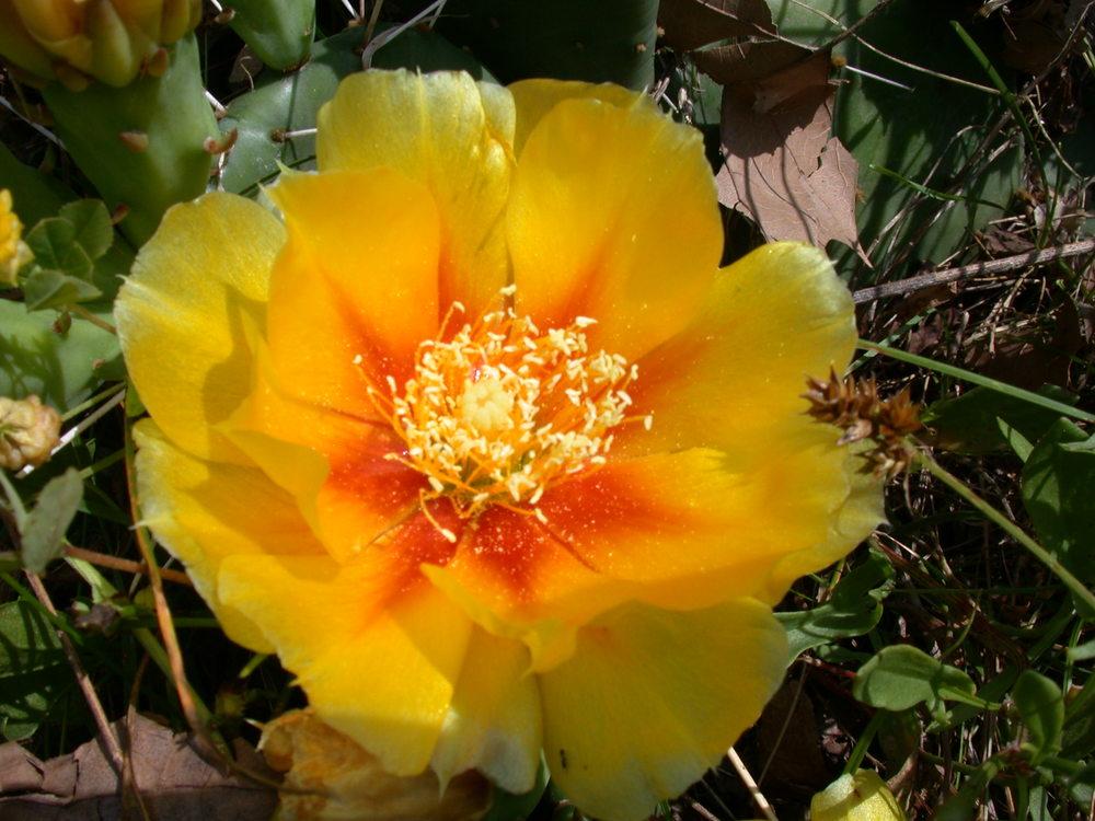Prickly Pear bloom site 32-3.JPG