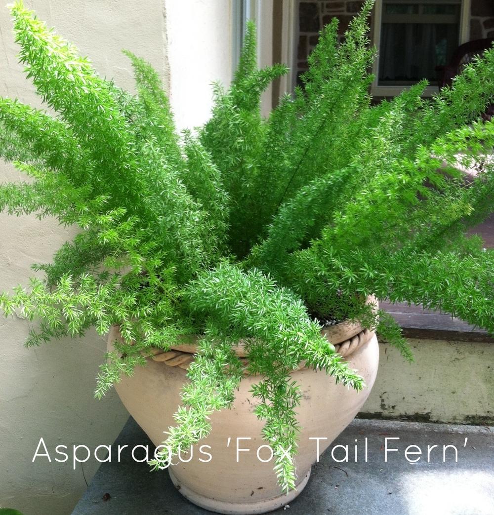 Asparagus Foxtail Fern