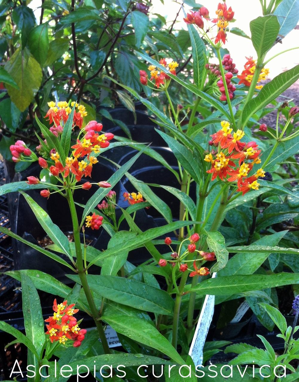 Asclepias curassavica at Marie's Garden