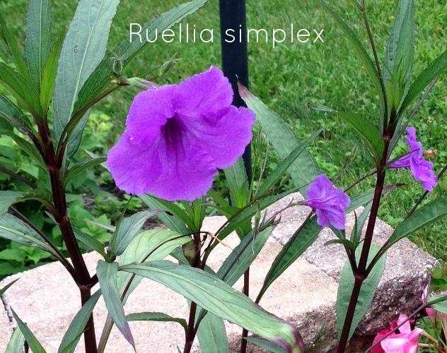 ruelliatwo2015.jpg