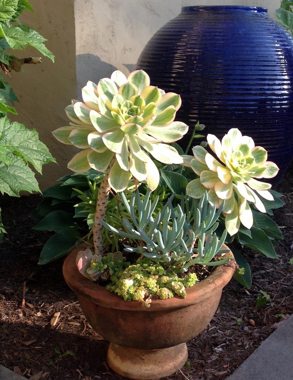 sunburst succulent.jpg