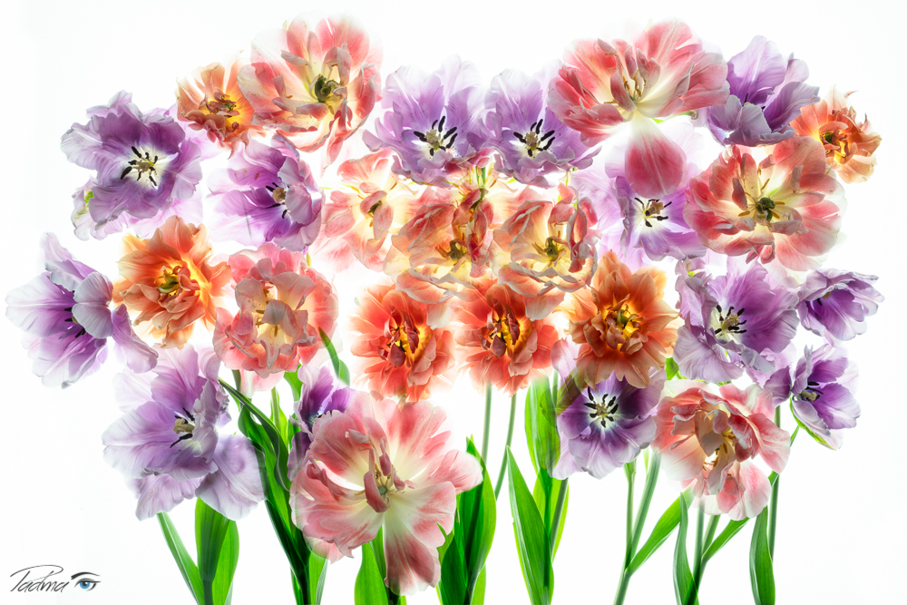 Tulips on Lightbox