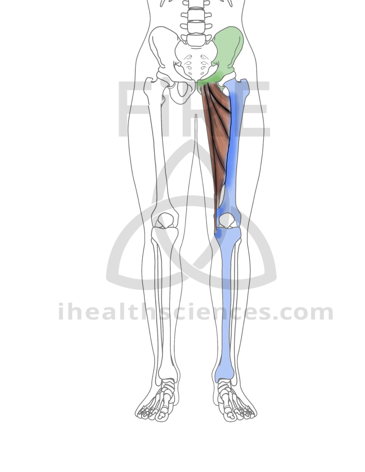Adductor Longus Integrated Health Sciences