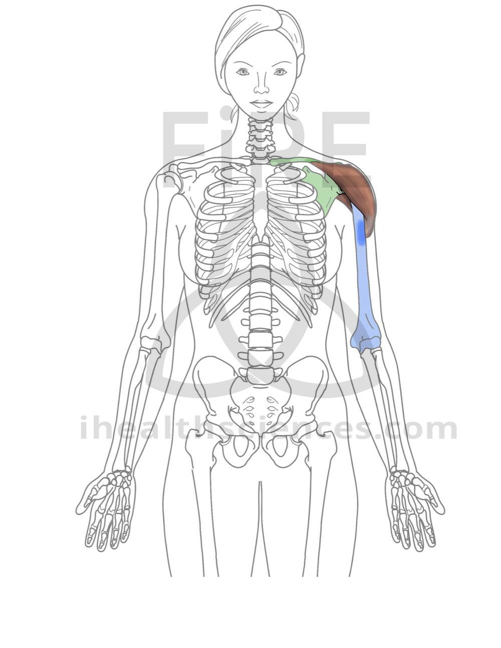 deltoid (anterior view).jpg