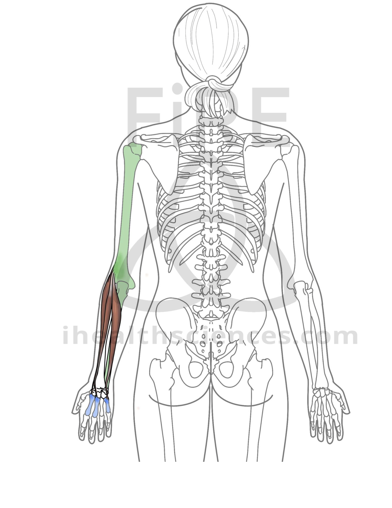 extensor carpi radialis longus integrated health sciences