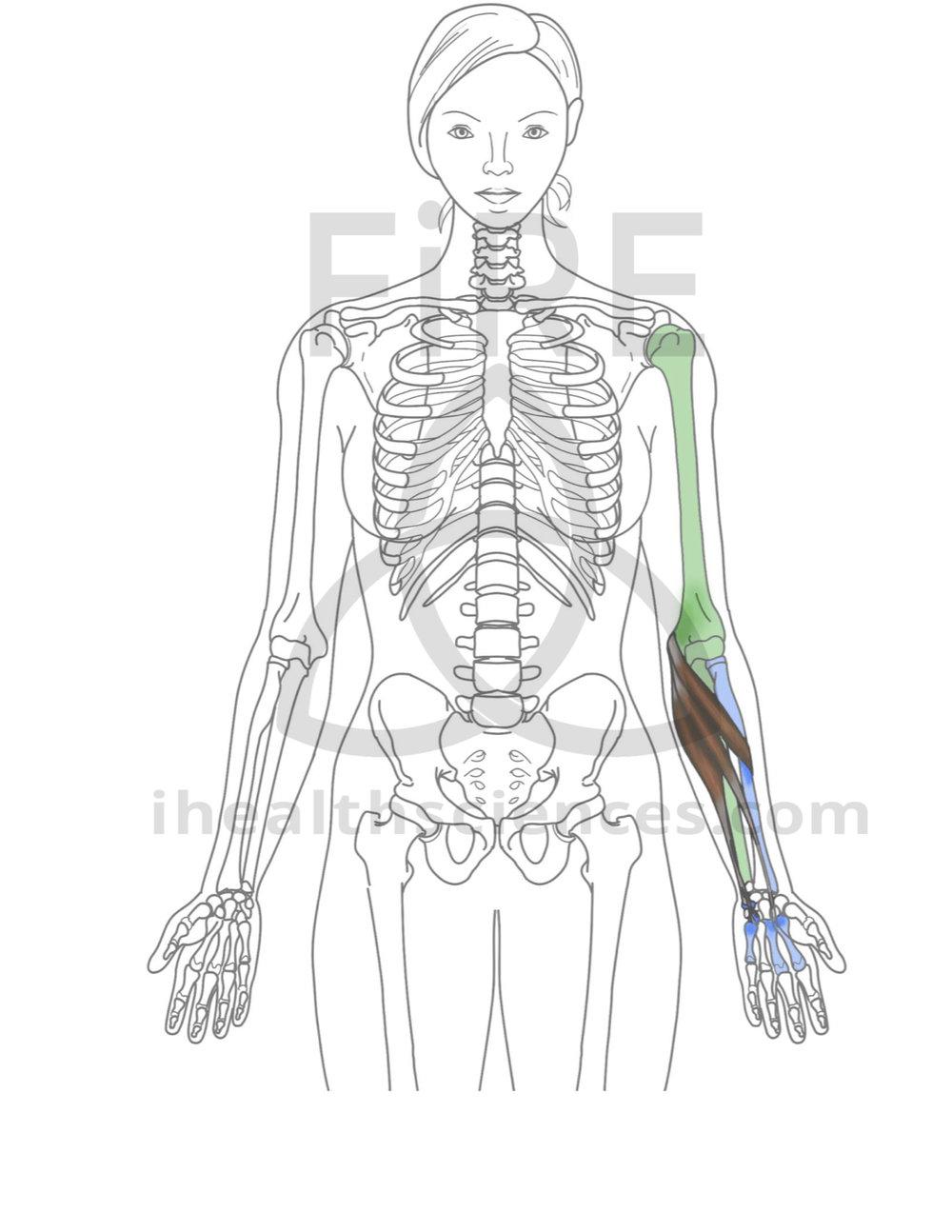 forearm flexor group (pronator teres, flexor carpi radialis, flexor carpi ulnaris).jpg