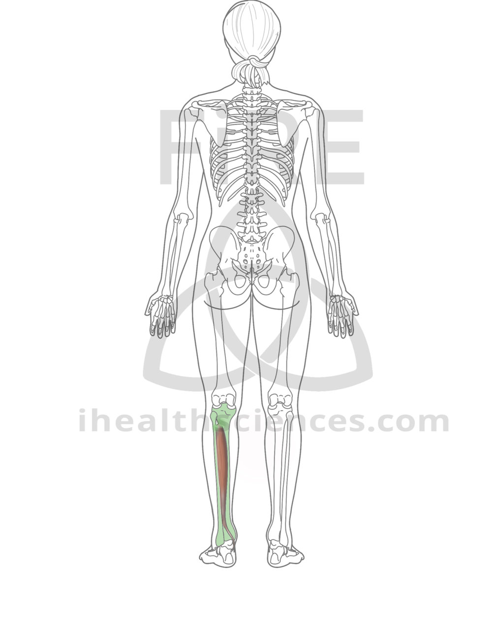 posterior tibialis (insertion unable to be shown).jpg