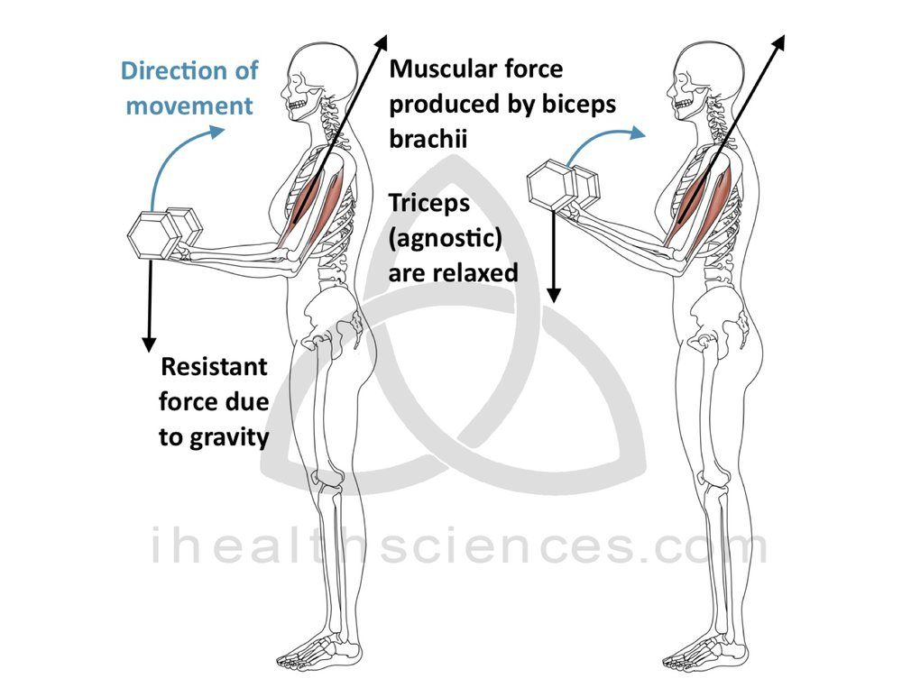 Concentric Contraction - Biceps Brachii