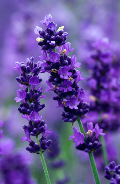 Imperial Gem Lavender (Lavandula angustifolia)